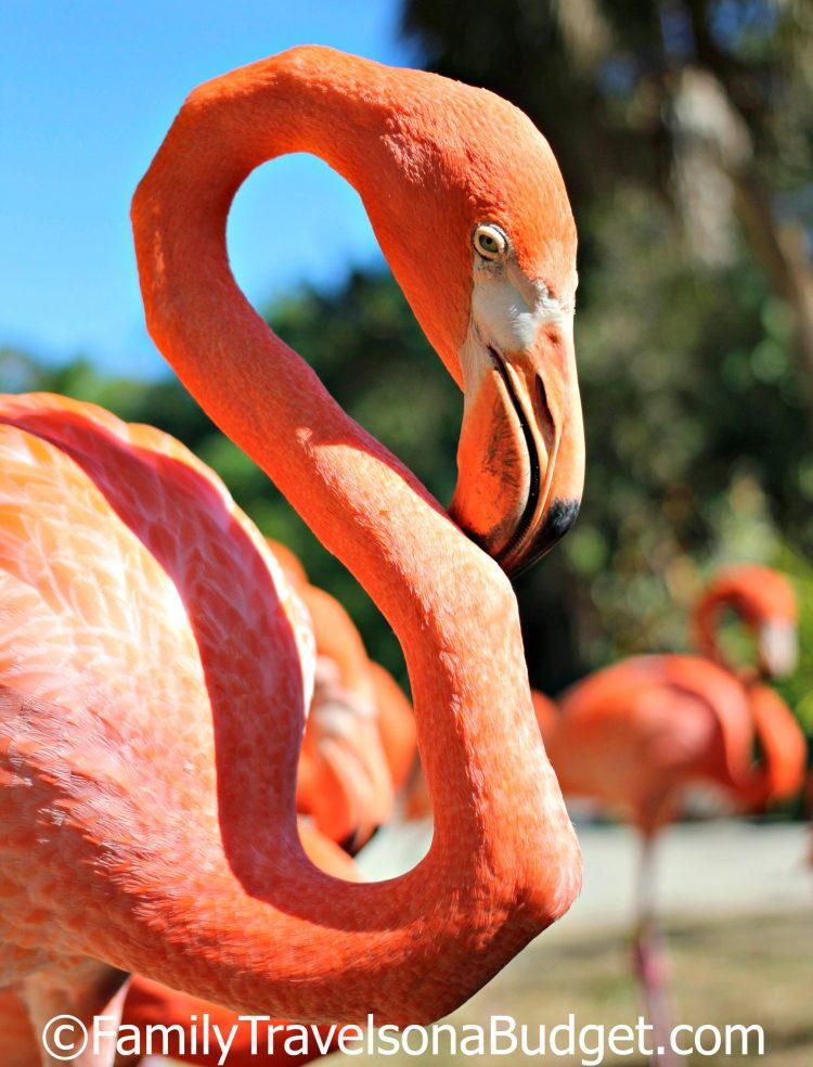 Ardastra Gardens flamingo