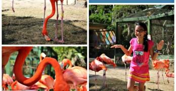 Flamingoes star at Ardastra Gardens