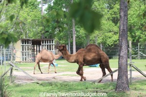 Camel Exhibit at the Little Zoo that Could, Gulf Shores, Alabama