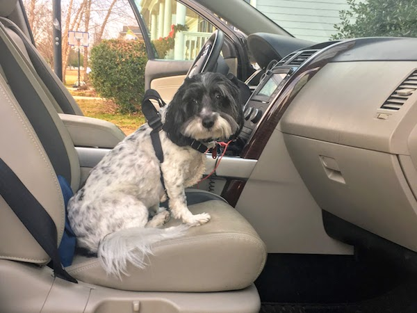 A safety harness secures dogs for safe road trips