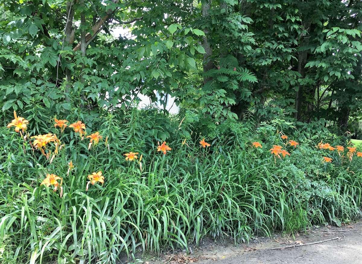 Orange daylilies growing alongside the road