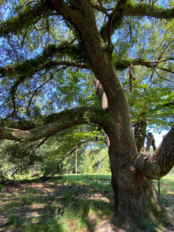 Live oak tree at Carvers Creek State Park